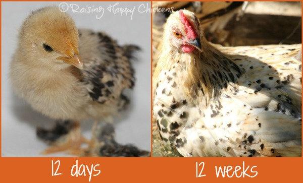 A Sablepoot chicken at 12 days and 12 weeks.