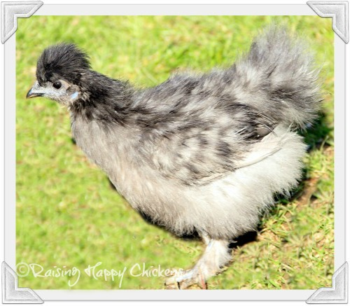 An adolescent Silkie chick!