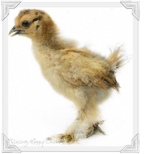 Silkie chick - the early days!