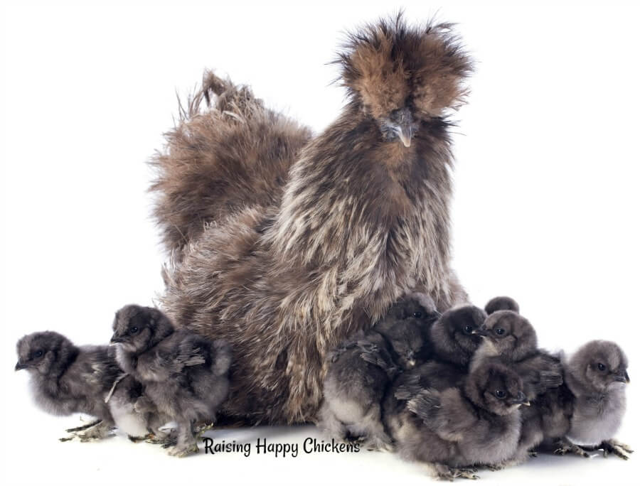 A group of grey Silkie chickens