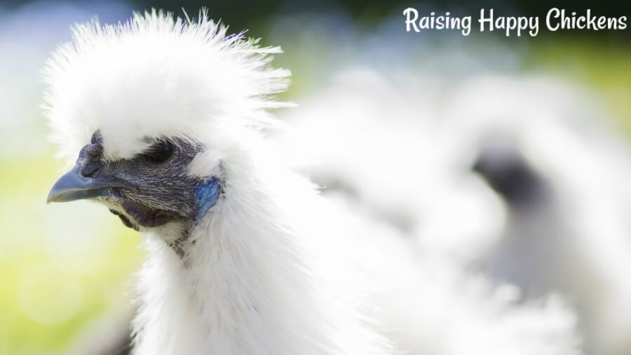 Silkie chickens should have a black face, a grey-blue beak and bright, turquoise earlobes. If s/he doesn't have those features, you're looking at a cross-breed.