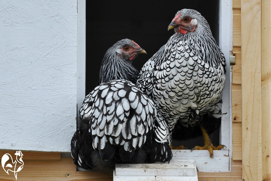 Two Silver Laced Wyandotte chickens.