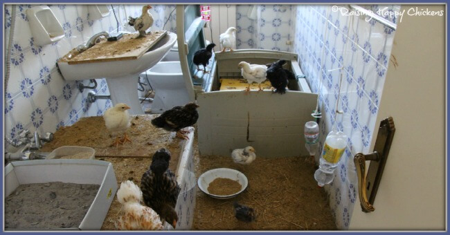 Keeping chicks separate in a bathroom seemed like a good idea at the time!