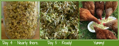 Sprouting lentil seeds days 4 to finish