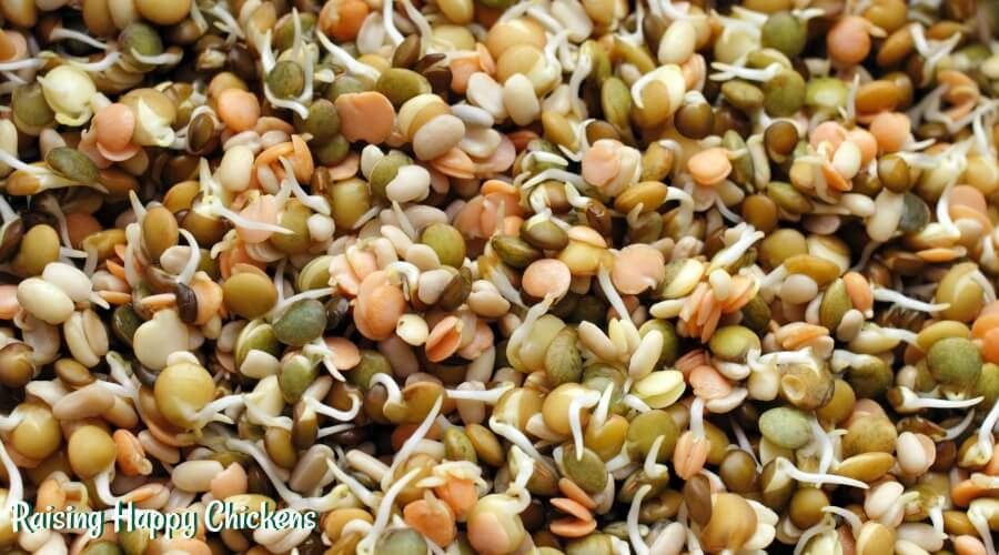 Sprouting seeds - an excellent source of protein for chickens and humans!