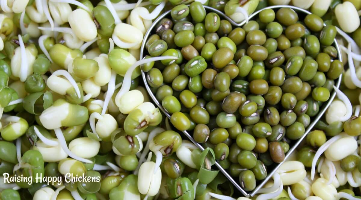 Sprouting seeds for chicken feed: mung beans are a great choice - full of protein-y goodness!