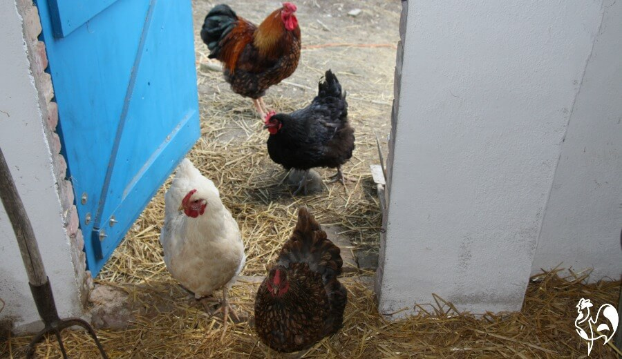 My Wyandotte hen who became a victim of 'Sudden Chicken Death' Syndrome. Find out what it is, why it happens and what, if anything, you can do to prevent it.