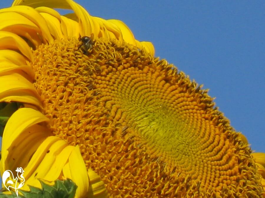 The head of a giant sunflower, with a honey bee!