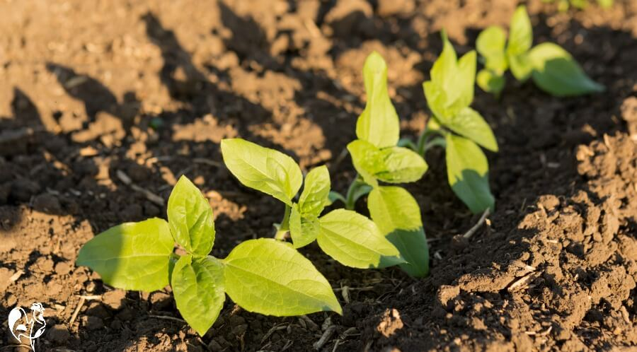 Sow sunflower seedlings about 18