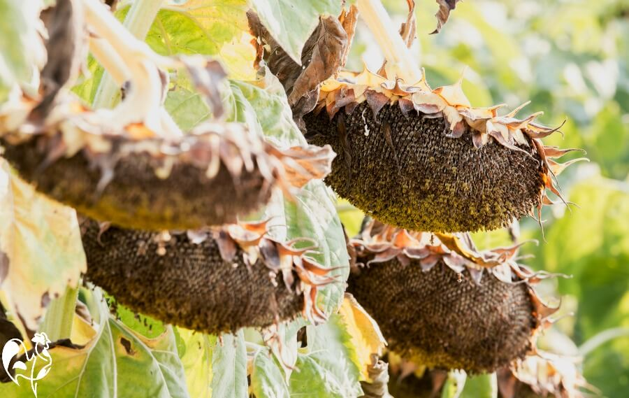 Sunflower heads need to be hanging and black before they're harvested.