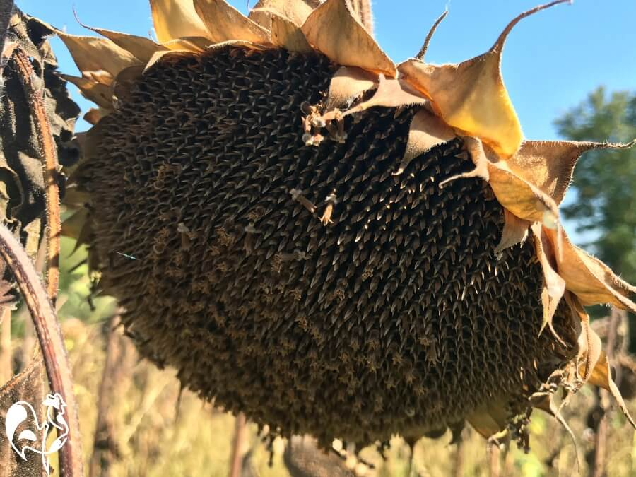 A ripened sunflower ready to harvest seeds.