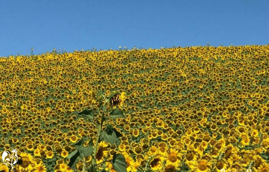 Our sunflower field, Italy.