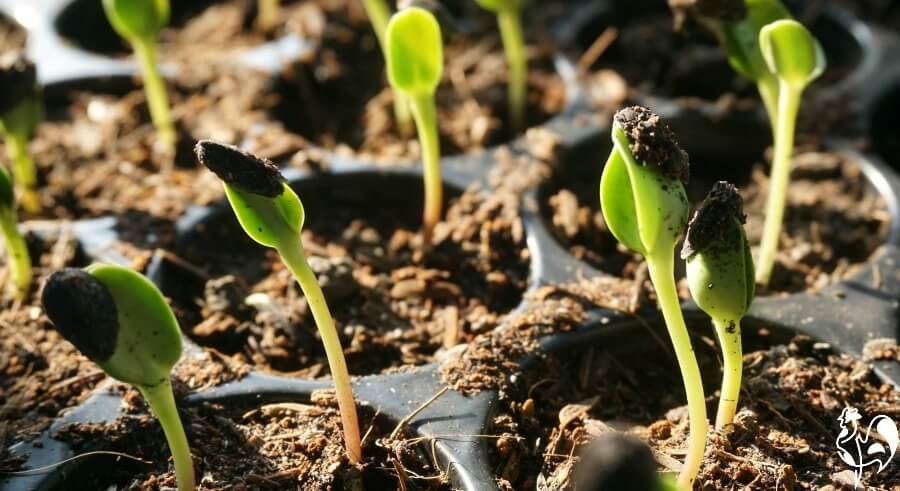 Sunflower seedlings pushing through the earth.