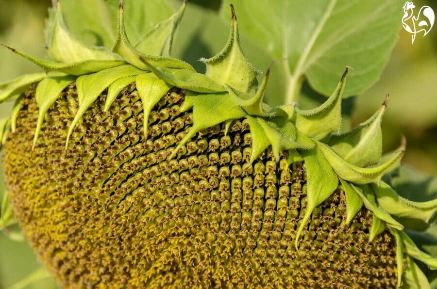 A ripe sunflower head ready for de-seeding.