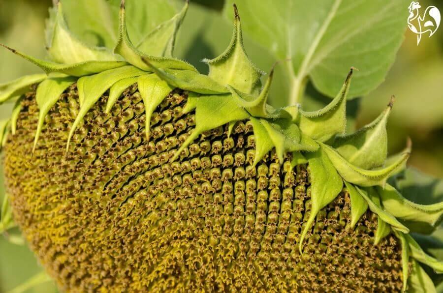 A ripe sunflower head ready for de-seeding.
