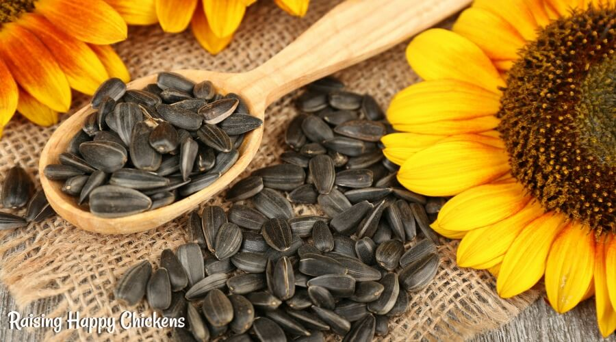 Sunflower seeds : a good source of protein for chickens. Feed them at times when chickens are in need of having their protein levels topped up. Find out when that is, here.