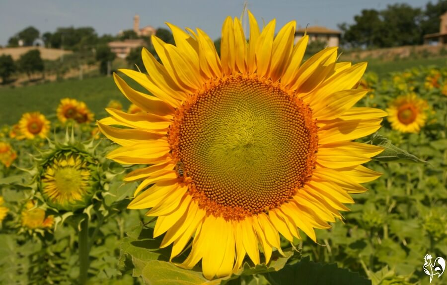 A sunflower field on the hills of Italy.