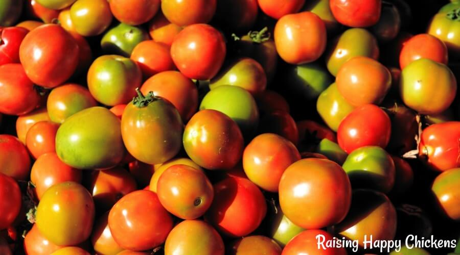 Tomatoes are a healthy treat for chickens - but is it true they can be poisonous? Find out, here.