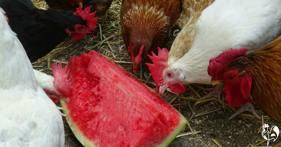 Some of my flock pecking into their watermelon treat.