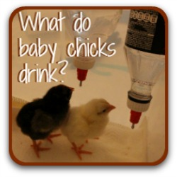 What do baby chicks drink in the brooder? Find out by clicking on this link.