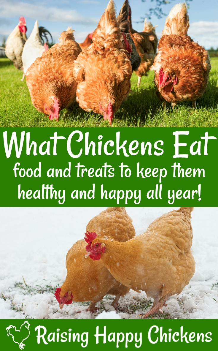 chicken nutrition what do backyard chickens eat