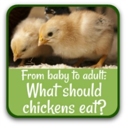 What should chickens eat to keep fit and healthy? Find out by clicking on this link.