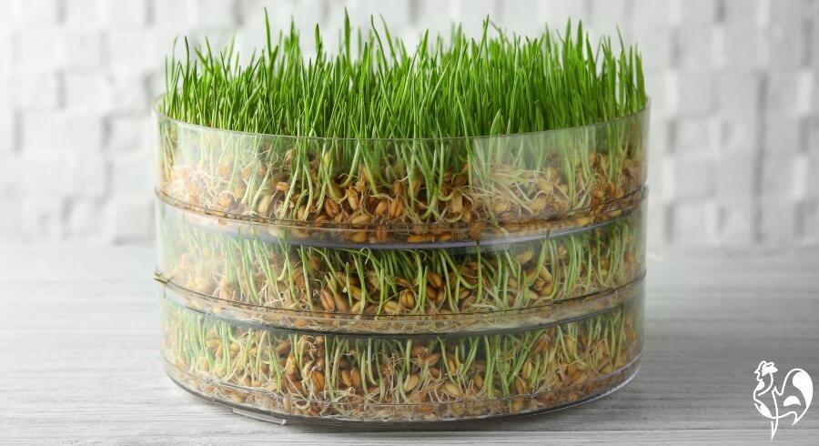 Wheatgrass for winter chicken feed.