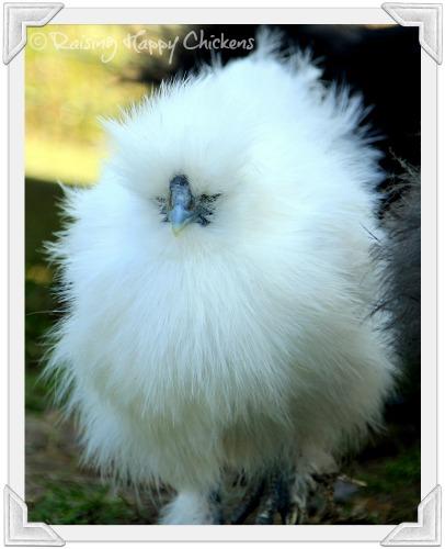 Silkie chicken fluff ball!