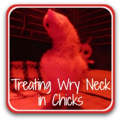 Treating wry neck in chicks - link.