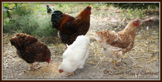 Some of my Wayndotte chickens with Aphrodite.