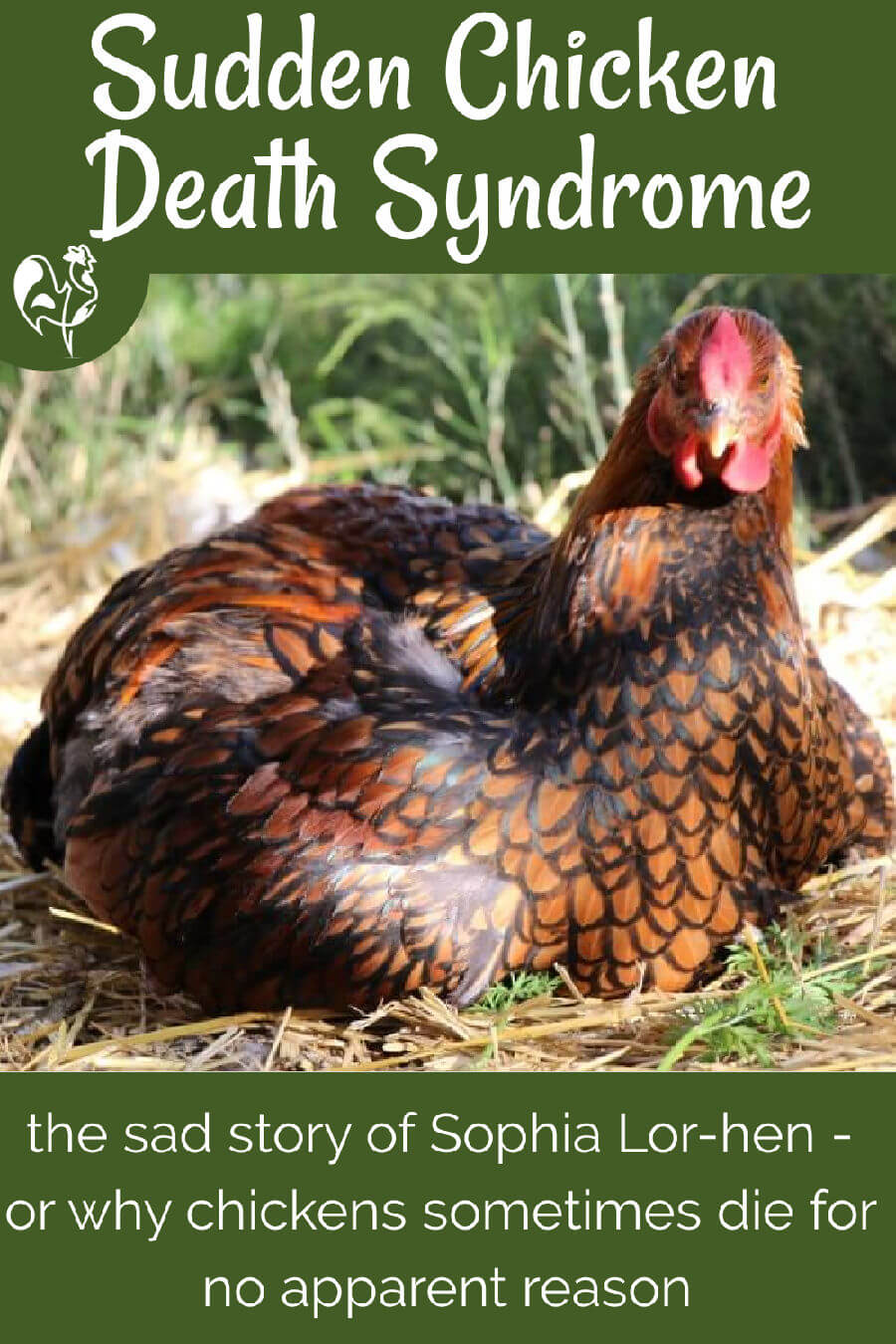 My Golden Laced Wyandotte hen who became a victim of 'Sudden Chicken Death' Syndrome. Here we examine what it is, why it happens and what, if anything, you can do to prevent it.