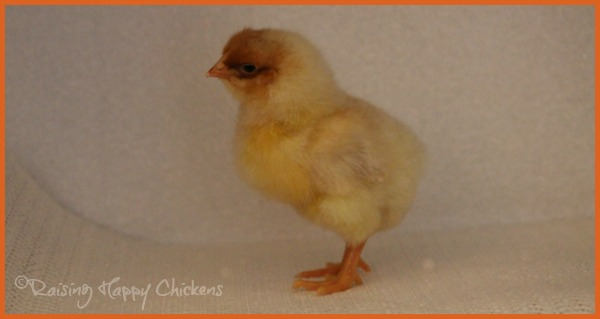 A Wyandotte chick aged four days.