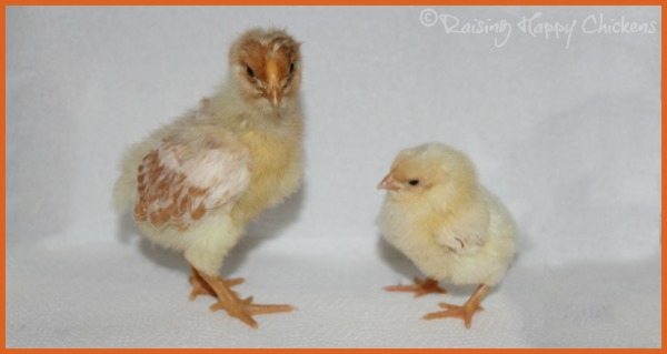 Two Wyandotte chicks, aged three weeks and one week.