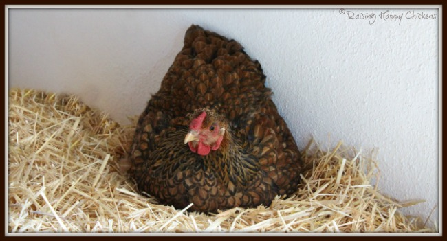This Golden Laced Wyandotte chick became a victim of 'Sudden Chicken Death' Syndrome. Here we examine what it is, why it happens and what, if anything, you can do to prevent it.