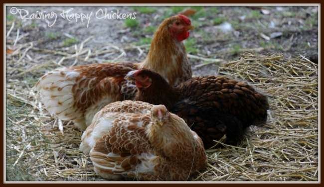 Three Wyandotte hens dust bathing.