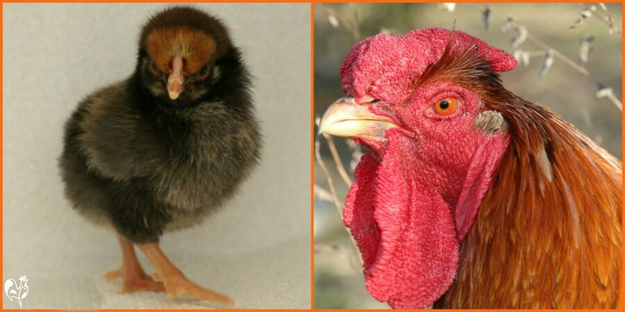 A one day old Wyandotte chick and the same chick as a two year old rooster.