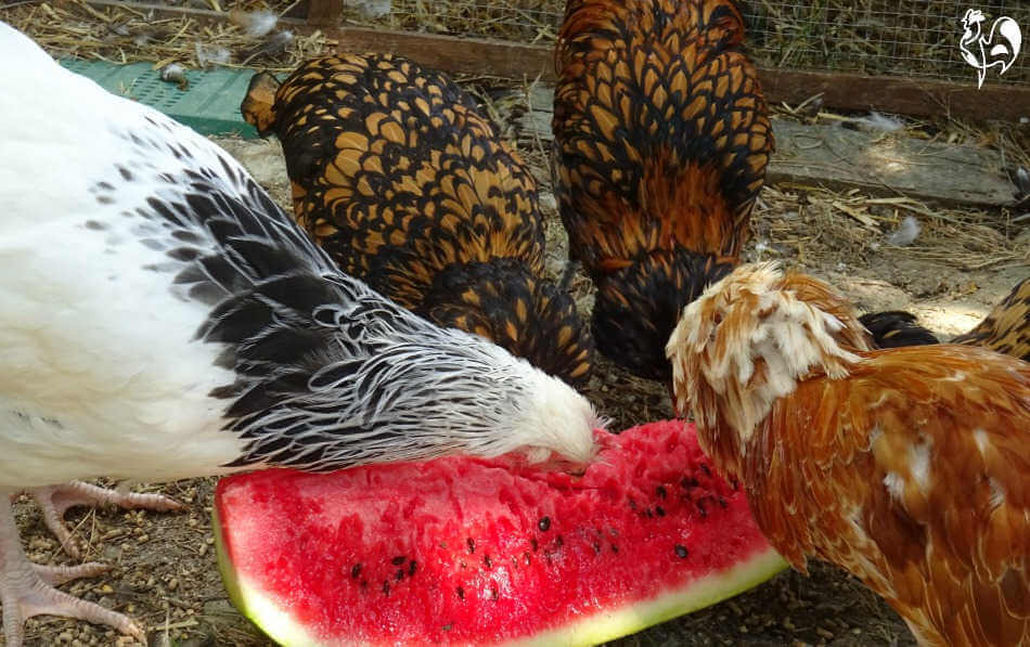 Chickens love eating watermelon, especially in the hot summer.