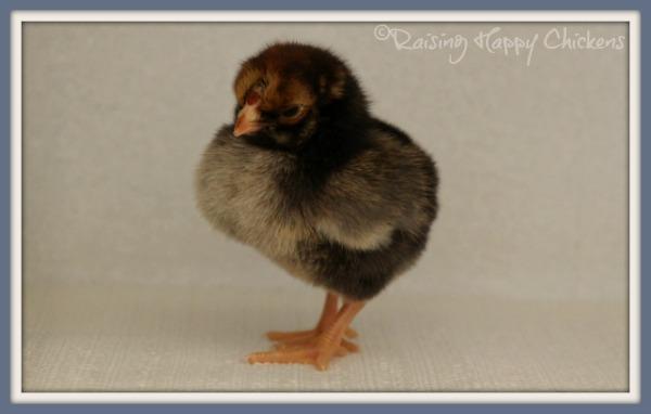 A three day old Wyandotte chick.