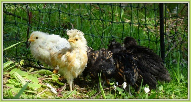 Baby chicks, outside for the first time.