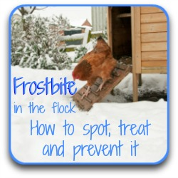 Frostbite in your flock - how to treat it.