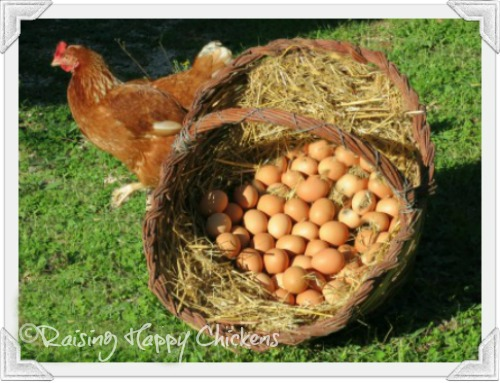 Basket of freshly laid eggs