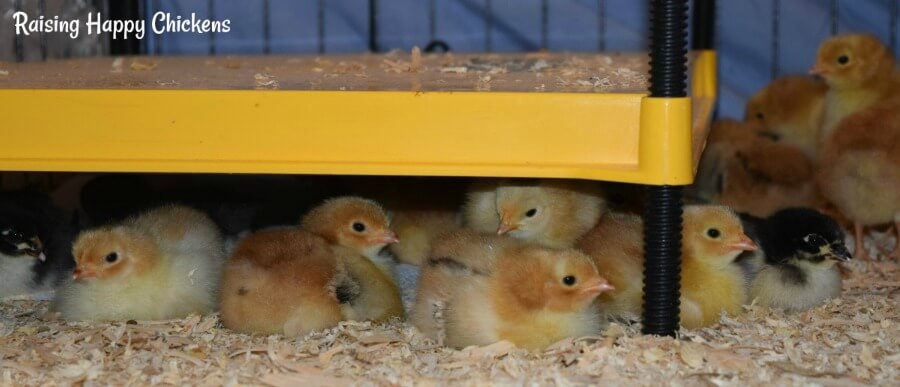 Two day old chicks under a Brinsea brooder lamp.
