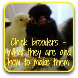 Chick brooders - what they are and how to make them.