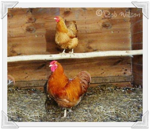 Buff Wyandotte chickens.