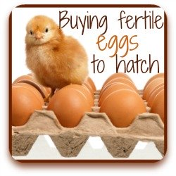 How to find fertile eggs for incubating - link.