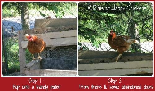 This is how chickens can manage to fly over a 6 foot fence and into the mouths of waiting dogs. Find out how to keep them safe.