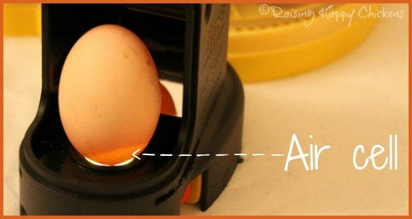 A chicken egg, candled at day 7, showing the growing air cell.