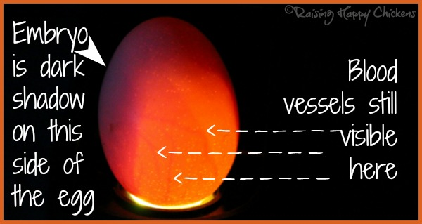 A chicken egg candled at day 10
