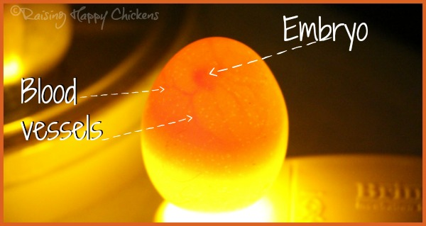A Wyandotte egg candled at day 5 of incubation.