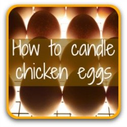How to candle chicken eggs - link.